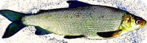 Диета при атеросклерозе_рыба