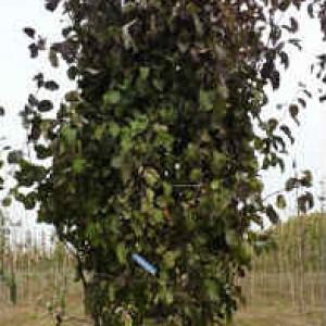 Посадка плодовых деревьев