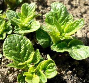 _выращивание картофеля