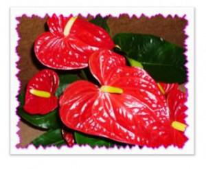 Комнатный цветок антуриум