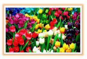 Как выращивать тюльпаны