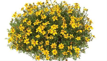 Череда лечебные свойства и противопоказания_цветение