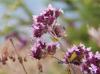 Трава душица лечебные свойства и противопоказания_фото