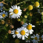 Ромашка аптечная лечебные свойства и противопоказания_сбор