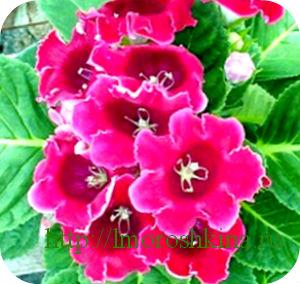 Цветок глоксиния как ухаживать за