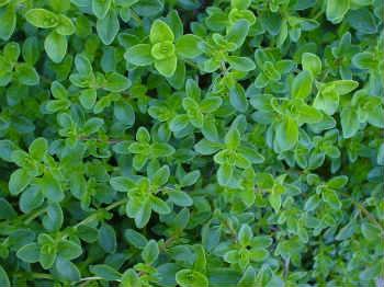 Чабрец – лечебные свойства и противопоказания_фото листья чабреца