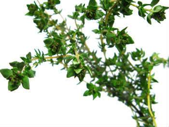 Чабрец – лечебные свойства и противопоказания_фото растение чабрец