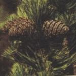 Настойка из цветков каштана для лечения варикоза