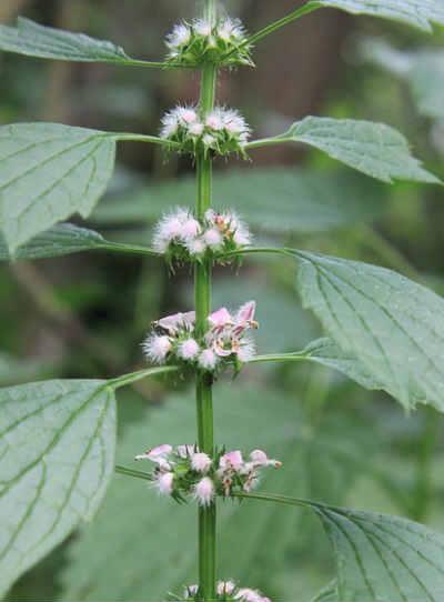 Пустырник лечебные свойства и противопоказания_фото растения