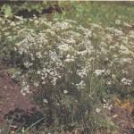 Выращивание тмина