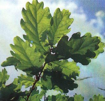 Кора дуба-лечебные свойства и противопоказания_кора дуба при поносе