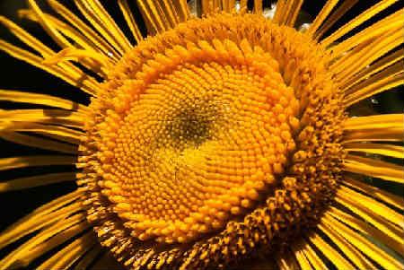 Девясил лечебные свойства и противопоказания, фото_растение