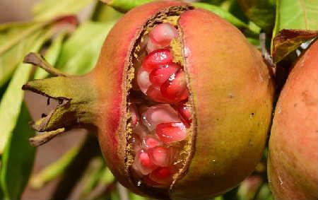 Гранат фрукт полезные свойства_для мужчин