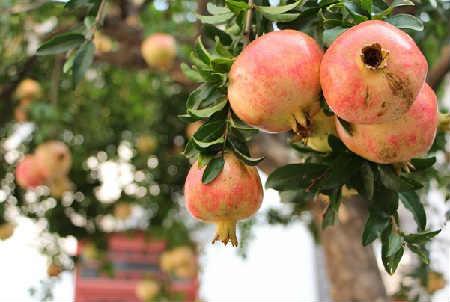 Гранат фрукт полезные свойства_где растет