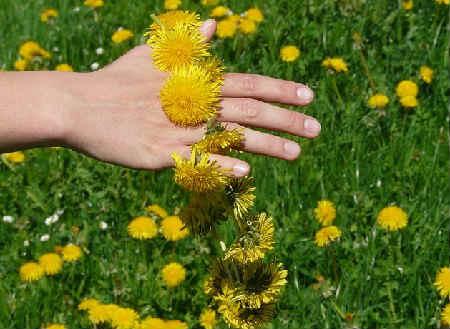 _описание растения одуванчик