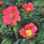 Марьин корень лечебные свойства и противопоказания-фото растения