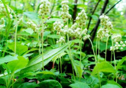 Боровая матка- лечебные свойства для женщин_фото в лесу боровая матка