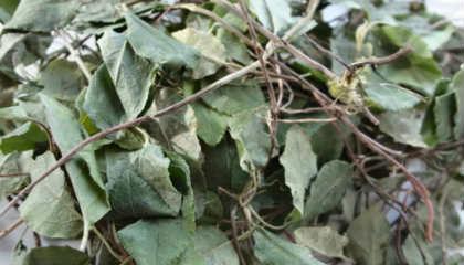 Боровая матка- лечебные свойства для женщин_фото высушенной травы боровой матки