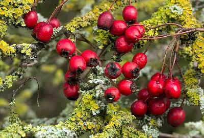 Боярышник полезные свойства и противопоказания_фото ягод