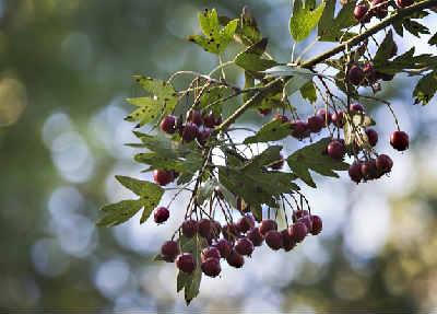 Боярышник полезные свойства и противопоказания_листья и ягоды
