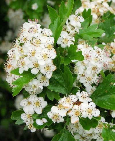 Боярышник полезные свойства и противопоказания_цветение весной