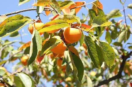 Хурма польза и вред для организма_дерево с плодами