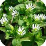 Мокрица- сорняк или полезное растение?