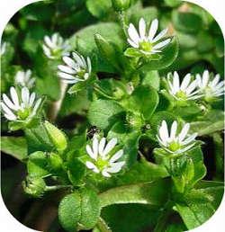 Мокрица сорняк или полезное растение