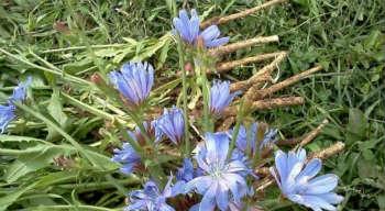 Цикорий растворимый – полезные свойства и противопоказания-корни цикория