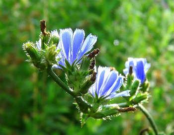 Цикорий растворимый – полезные свойства и противопоказания_цветок цикория