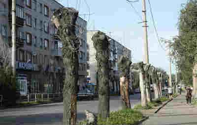 Дерево тополь, тополиные почки