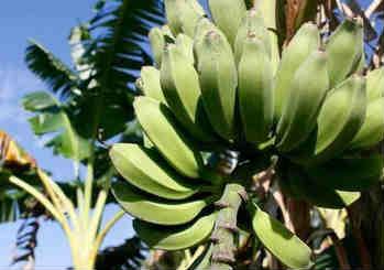 Полезные свойства банана_где растет