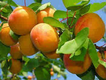 Полезные свойства абрикоса_как выглядит