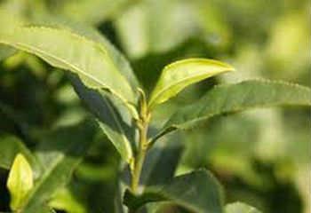 Полезные свойства зеленого чая_листочки