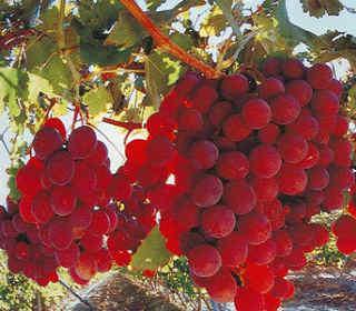 Красные фрукты и овощи_виноград
