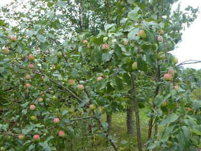 Изготовление яблочного уксуса