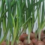 Выращивание зеленого лука зимой