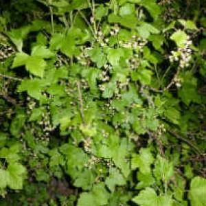 Черная смородина- вид растения