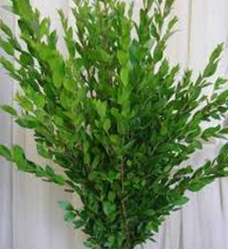 Полезные комнатные растения_мирт