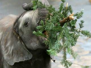 Куда девать елку_слон ест хвою