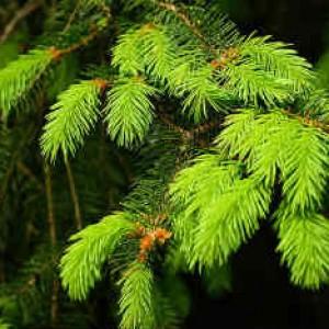 Куда девать елку_дерево ель