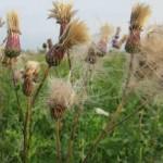 Semena rastoropshi – lechebnye svojstva i protivopokazanija Otzyvy12