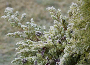 можжевельник лечебные свойства и противопоказания_можжевельник зимой