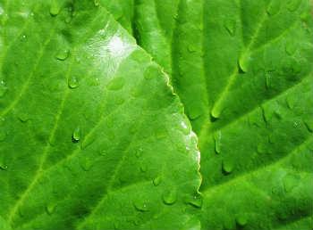 бадан рослина