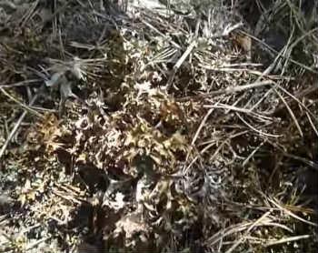 Исландский мох- лечебные свойства, рецепты, отзывы_ где растет исландский мох