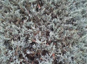 Исландский мох- лечебные свойства, рецепты, отзывы_ как выглядит исландский мох