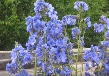 Синюха голубая-применение и противопоказания_заросли синюхи голубой