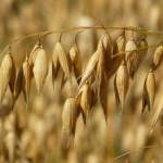 Овес-лечебные свойства и противопоказания_поле с овсом