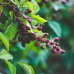 Ежевика полезные свойства и противопоказания_где растет