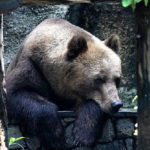 Медвежья желчь лечебные свойства и противопоказания_медведь